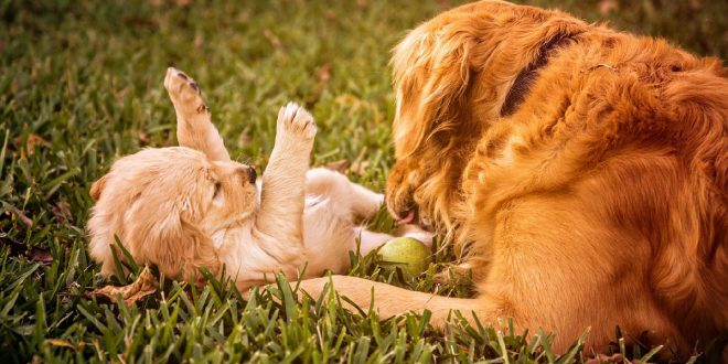 Socializar a Golden Retriever
